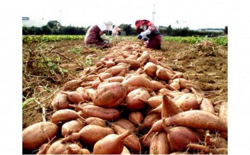 安納芋(本場種子島産)10kg
