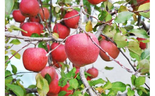 美味しい鹿角りんごが実っています
