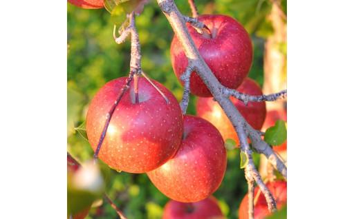 シャキシャキ食感のおいしいりんごをお届けします