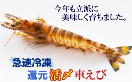 活〆還元車えび(急速冷凍・500g)