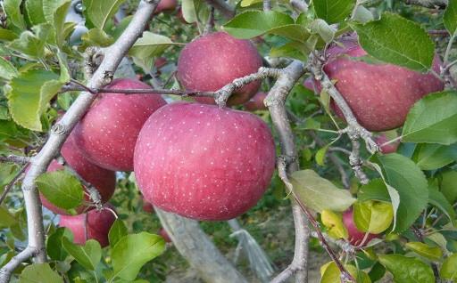 二戸産りんご サンふじ まもなく受付終了