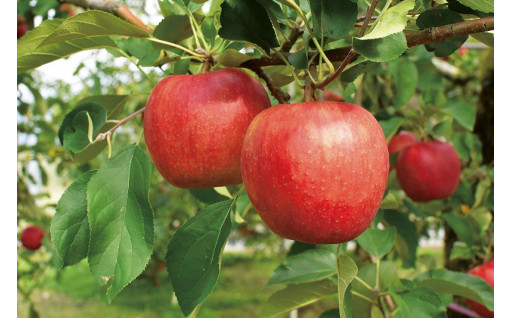 加工品を除くりんごの受付は終了しました。