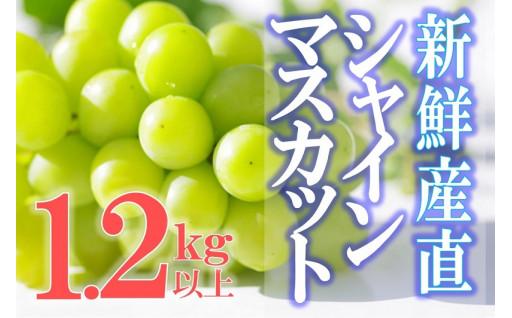 新鮮産直!シャインマスカット1.2㎏(2房入)