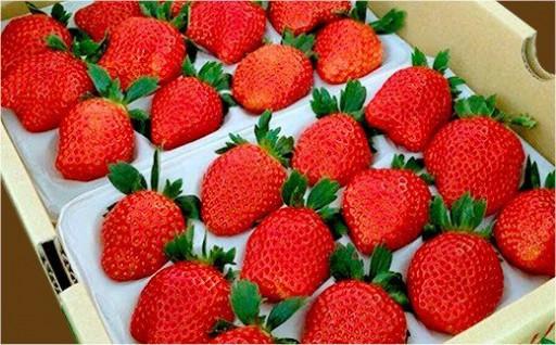 糖度が高く栄養たっぷり!真っ赤に熟れた完熟イチゴ