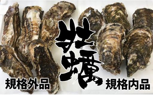 【訳あり規格外品】三陸広田湾の殻付き牡蠣20個!