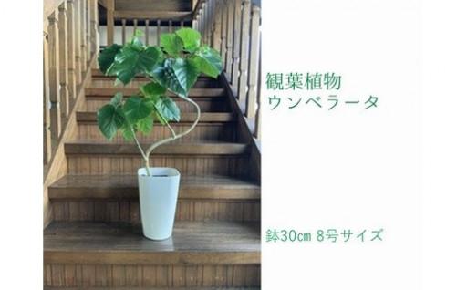 観葉植物 ウンベラータ8号サイズ1鉢