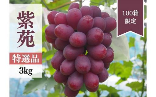 """予約開始!ワイン色の赤い実が美しいぶどう""""紫苑"""""""