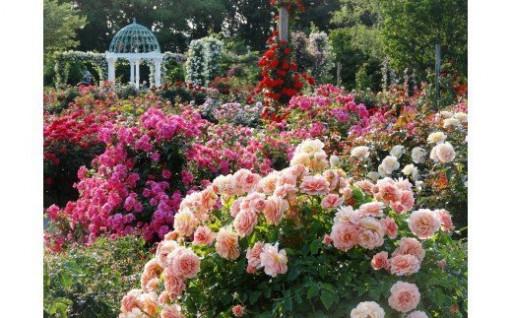 美しいバラの園「京成バラ園年間パスポート」