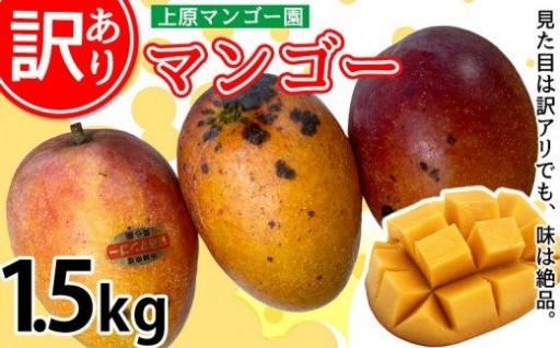 【訳あり品】2022年発送マンゴー 1.5kg