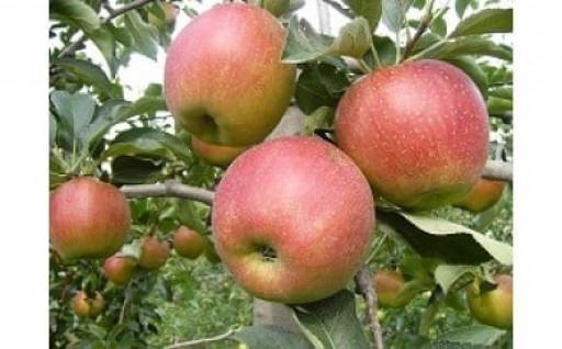 渋川市赤城町産りんごの申込みを開始しました