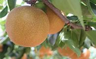 利根川さんが作った「朝もぎ梨」5kg