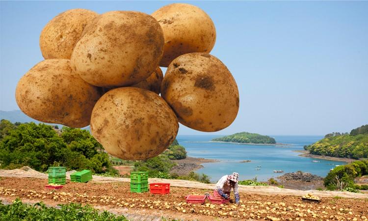 長島町特産 赤土バレイショ(ジャガイモ)10kg