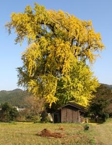 内野宿(うちのしゅく)は江戸時代、長崎街道筑前六宿のひとつとして栄えた宿場町。今も宿場町の面影をとどめ、脇本陣だった長崎屋は休憩所として開放しています。  その内野宿のシンボルである大銀杏は樹齢約400年、その高さ34.1メートル、幹周り7.6メートルの巨大なもので、県の天然記念物に指定されています。