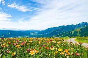 夏期シーズンには約50余種、30万株、200万輪のゆりが咲き誇る白馬岩岳ゆり園。 標高1289m、ゴンドラで登った先の山頂には、一面の色鮮やかなゆりの花畑と、雄大な北アルプス白馬連峰の大パノラマが広がります。 ゆりの季節だけではなく紅葉シーズンもおすすめ。  山頂にはドッグランを完備、「ねずこの森」には『森のセラピーウォーキング』を楽しめるウォーキングコース、アスレチック施設もあり、子どもやペットも一緒に白馬岩岳の雄大な景色を楽しむことができます。