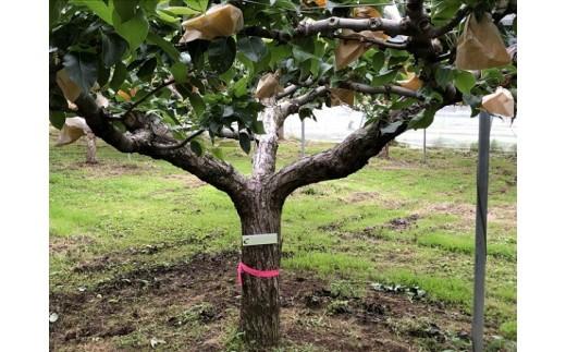 15D.二十世紀梨の木オーナー