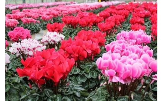 012-08冨田花園のシクラメン(6号鉢)