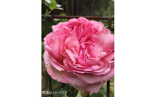 食用薔薇の苗木(裸苗)冬~早春お届け