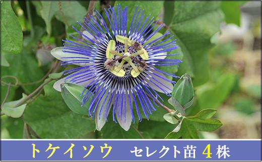 【010-062】エキゾチックなトケイソウ苗4点セット