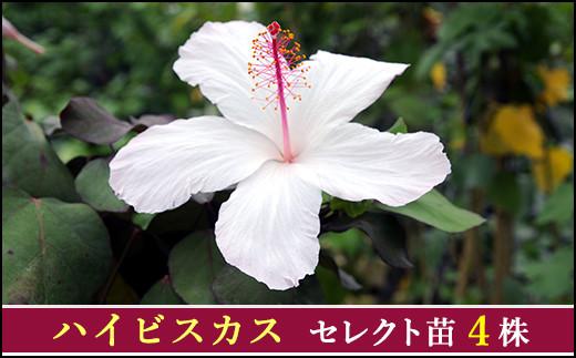 【010-063】珍しいハイビスカス苗4点セット