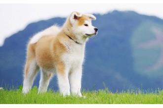 犬好き必見!世界中で話題の「秋田犬」特集