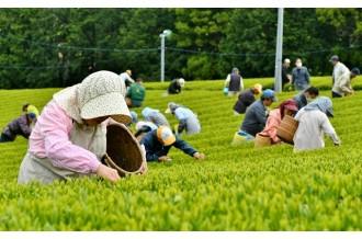 新茶の予約開始!深蒸し掛川茶「新茶」特集