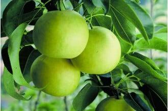 琴浦町の「おもて梨」をお届け