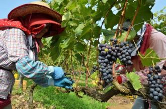 美しい能登の大地で作られる「能登ワイン」