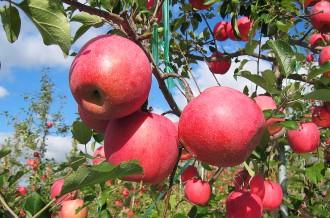 青森県平川市産りんごをお届けします!