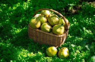 上山から独自の栽培方法で育った高品質なラ・フランスをご紹介いたします!