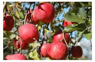 りんごとワインと空気神社の里から『おいしい朝日町』届けます