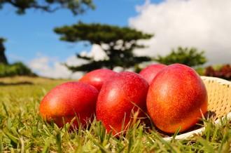 <美味しい!をご家庭へ>今が旬!沖縄市の甘~いマンゴー