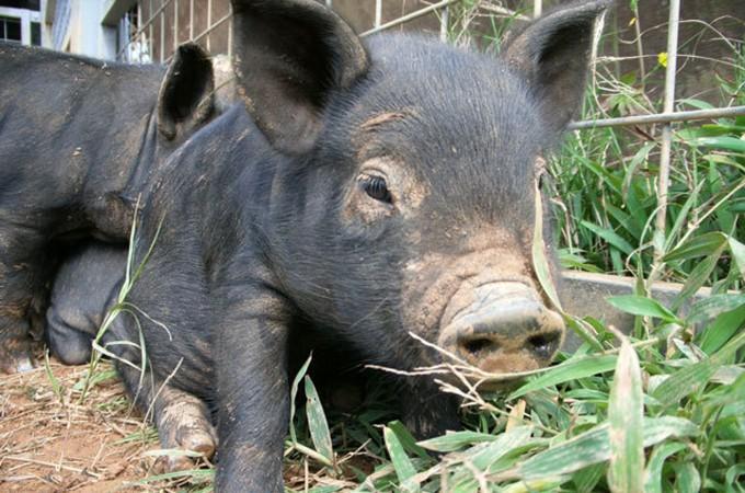 金武町で育った<幻の豚>アグー&ブランド豚特集
