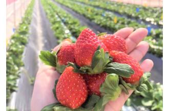 収穫時期のビニールハウス内は、甘ーいいちごの香りでいっぱい!