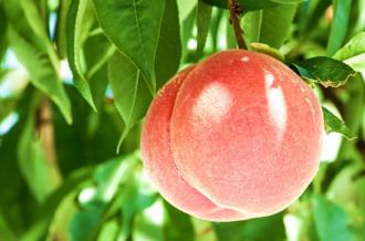 甲斐国物語より完熟桃を直送します