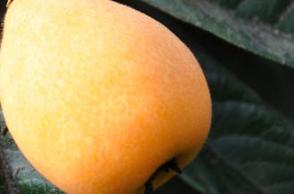 毎年、皇室にも献上している初夏の味覚「房州びわ」。南房総地域の「房州びわ」は大粒で、みずみずしさが特徴です。