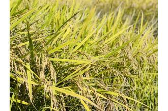 毎年、心待ちにしている人が多い「新米」。小国町でもいたるところで稲刈りが始まり、新米の季節がやってきました。