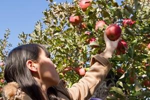りんごの木オーナー収穫祭の様子