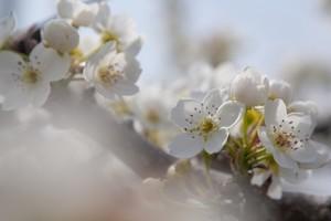 可憐な梨の花