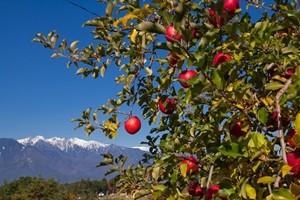 りんご園から見た中央アルプス