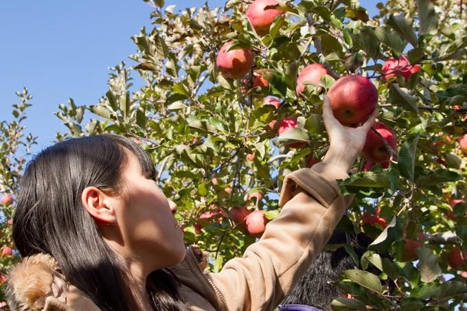 りんごの木オーナー【シナノスイート 中木】