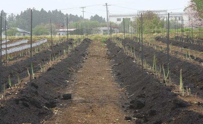 黒い土壌は完熟発酵の豚糞(とんぷん)。化学肥料は使っていません