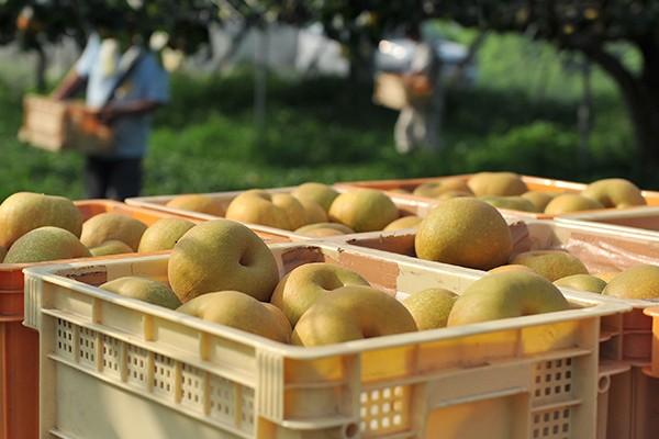 収穫された梨