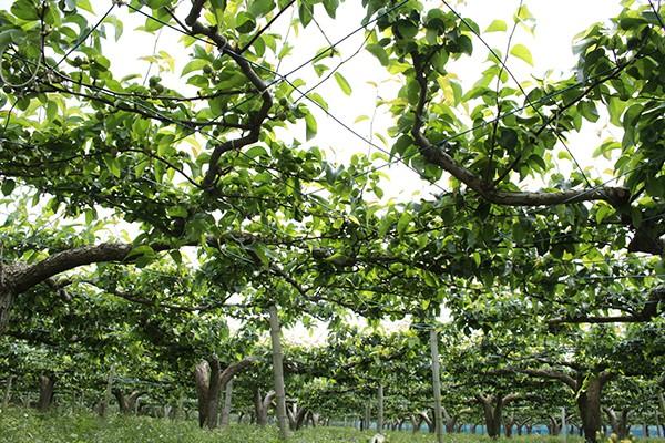利根川梨園の梨畑