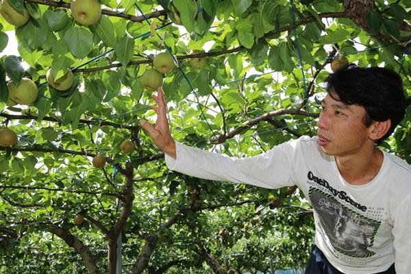 梨の手入れをする大髙さん (平成27年7月撮影)