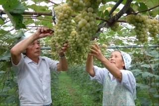五ヶ瀬町産ブドウの収穫