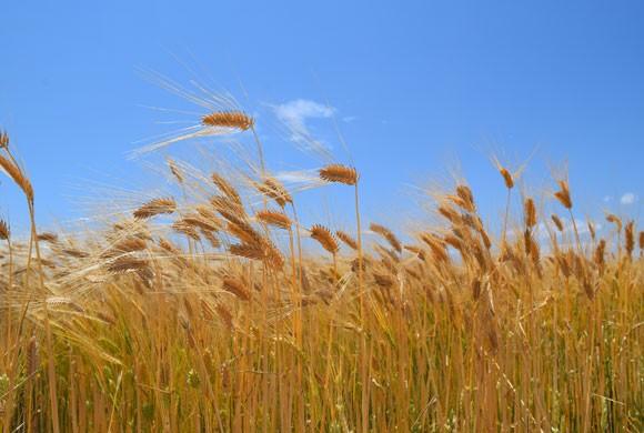 麦秋(初夏)のころの大麦