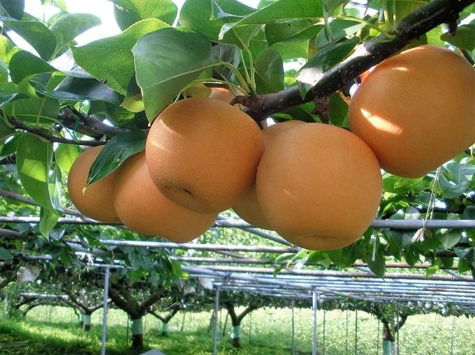 土佐の太陽と清流が育てる四万十の梨