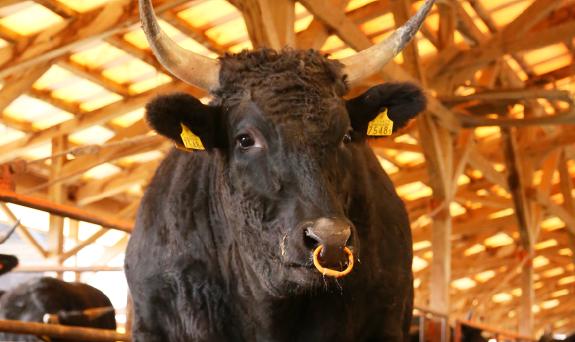 琴浦町のブランド和牛 【東伯和牛】