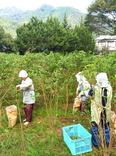 原料の桜葉は、大島桜を畑で栽培し一枚々丁寧に手摘みで収穫しています。