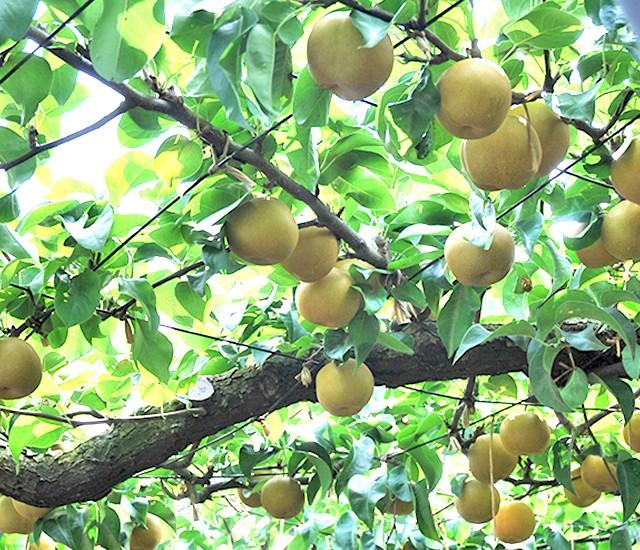 榎本梨園の梨畑